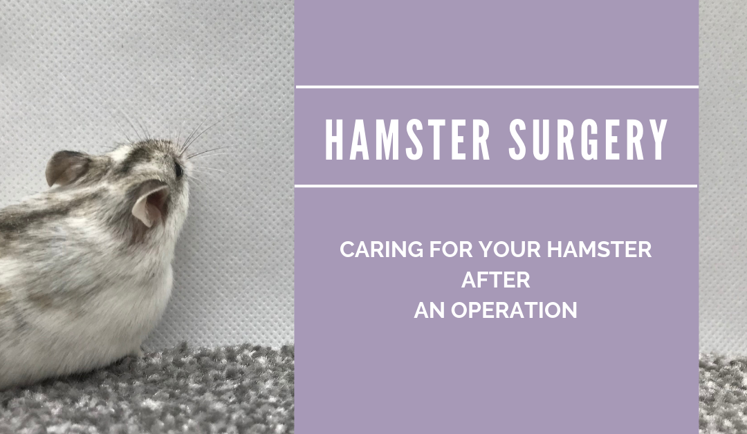 Caring for Hamsters after Surgery