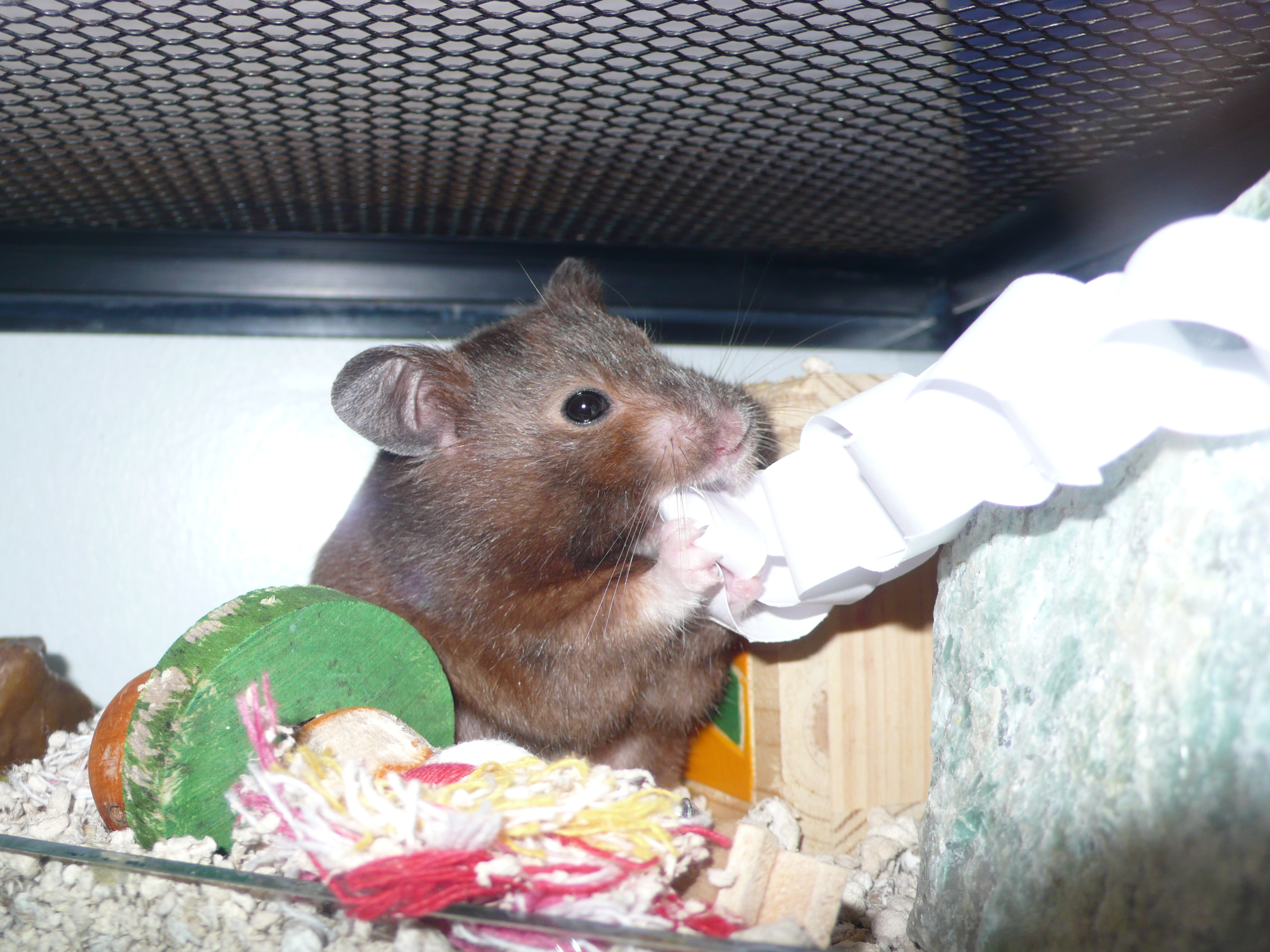 bar chewing hamster