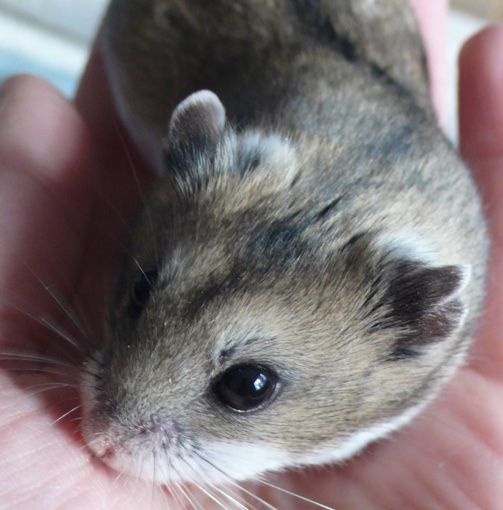 Normal Chinese hamster
