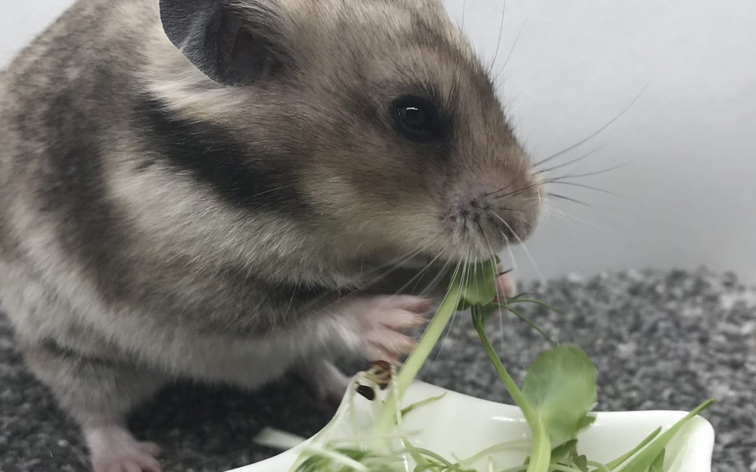 Growing Greens for your Hamsters: the easy way