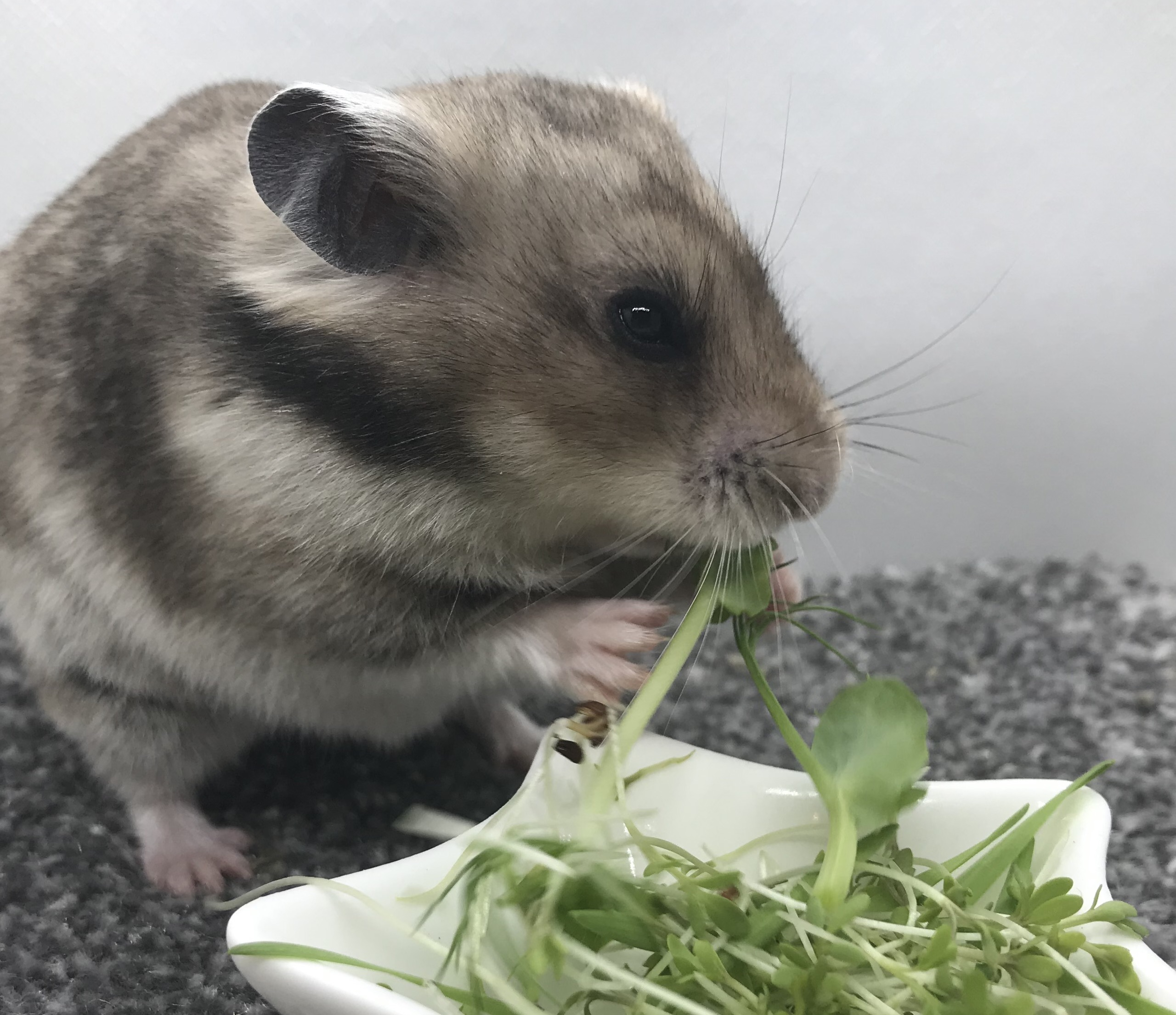 hamster eating greens